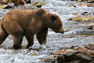Photo: Grizzly crossing stream