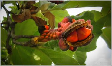Photo: Magnolie (Magnolia) - din Piata 1 Decembrie 1918, parc - 2017.09.26