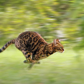 Kokos in action by Jane Bjerkli - Animals - Cats Playing (  )