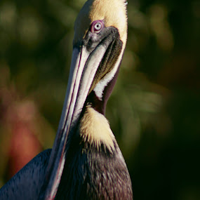 The Master by Mary Gerakaris - Animals Birds ( corporate office art, artistic photography, florida birds, pelicans, bird closeups, natural beauty,  )