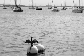 Photo: A Bird in Boston Harbor  In Boston, I caught this adorable bird trying to see if the wind would catch his sails.