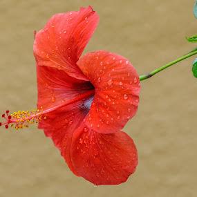 by Veli Toluay - Flowers Tree Blossoms ( çiçek, ağaççiçek, yaz, natural, bahar, kırmızı, güzellik,  )