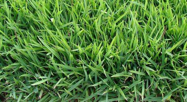Hãy đến với Cây Xanh Miền Nam để được sử dụng dịch vụ trồng cỏ uy tín