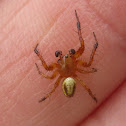 Sixspotted Orbweaver, male