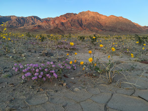 Photo: Super bloom 2016, Death Valley National Park.