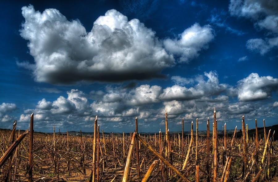 sunflower cut by Frans Scherpenisse - Landscapes Prairies, Meadows & Fields ( clouds, hill.landscape, sky, blue, sunflower, fields )