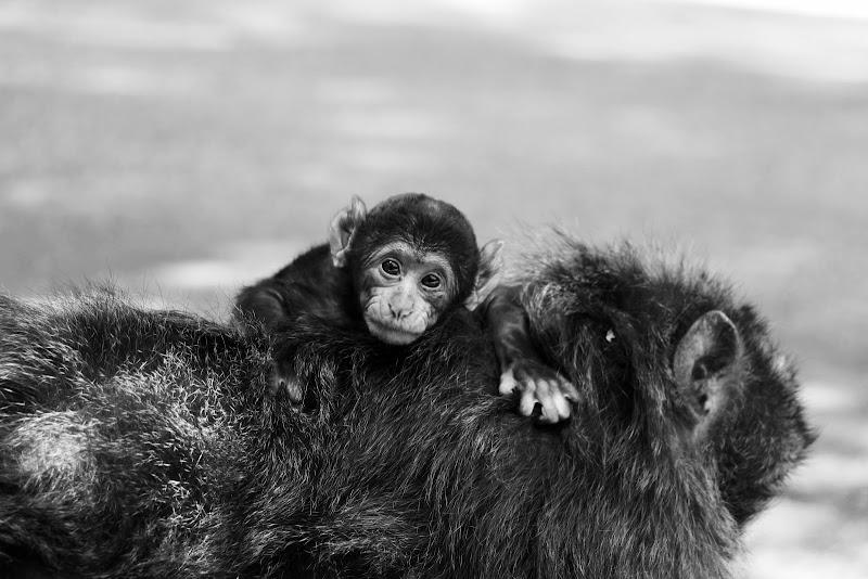 Cucciolo di scimmia in groppa alla madre nella foresta di cedri Marocchina. di Francerizz