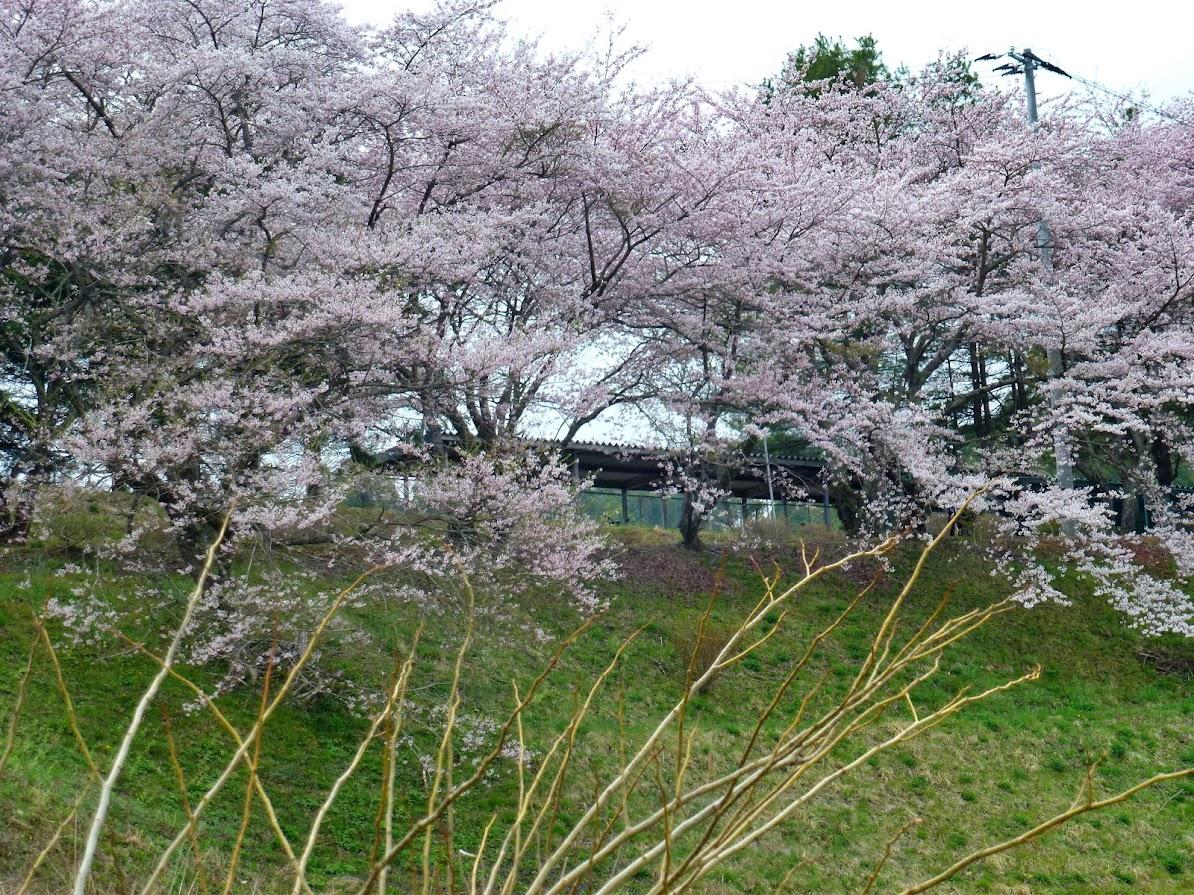 志津川高校の桜並木(2012.4.26)写真2