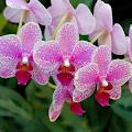 Pink Orchid Live Wallpaper APK