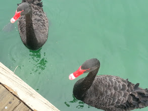 Photo: Black swans, they all like crackers