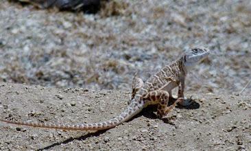 Photo: Blunt Nosed Leopard Lizard - T. Maloney
