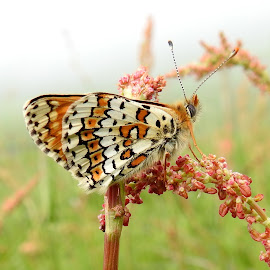 Glanville fritillary by Chris Roughley - Animals Insects & Spiders (  )