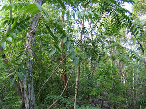 Photo: West Indian Cedar - Cedrela odorata, Critically Endangered, Family: MELIACEAE. Ironwood Forest, Grand Cayman, Aug.9, 2009