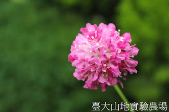 Photo: 拍攝地點: 梅峰-溫帶花卉區 拍攝植物: 大花松蟲草 拍攝日期:2012_10_30_FY