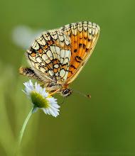 Photo: Melitaea athalia, Mélitée du mélampyre ou Damier Athalie http://lepidoptera-butterflies.blogspot.com/