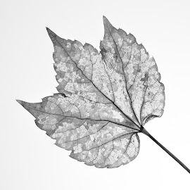 See Through  by Stefan Klein - Black & White Flowers & Plants ( nature, still life, artistic object, black and white, leaf )