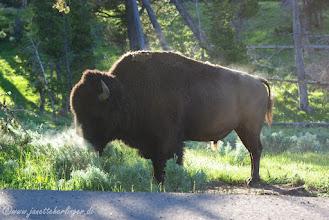 Photo: Bison am frühen Morgen