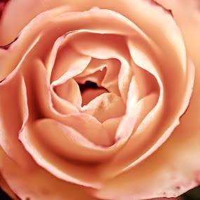 Gentle by Milica Đorđević - Flowers Single Flower ( rose, macro, nature, close up )