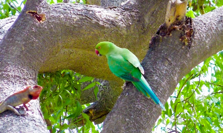 by Roshan Tabasum - Animals Birds ( brown lizard and parrot, parrot,  )