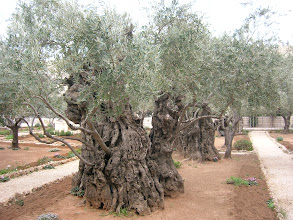 Photo: ancient (over 2000 years old) olive trees