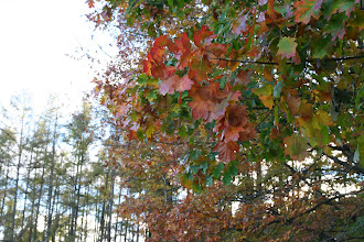 Photo: Chêne d'Amérique, Chêne rouge (Quercus rubra)
