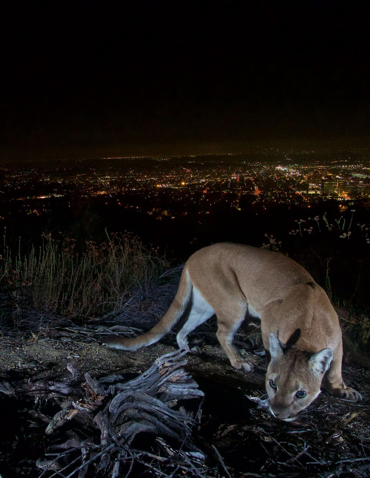 Mountain lion in Los Angeles.