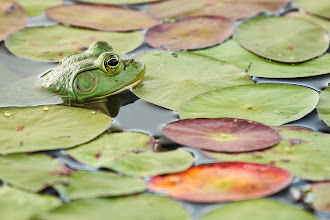 Photo: The Keeper of the Pond  This is a great place to use a circular polarizer filter.  This little guy is going to be famous! :)He will be featured in our next Workflow Series eBook! I've been keeping my eyes open for a detail shot that would show the effect of a circular polarizer, and this was perfect. I took two shots - one with and one without the polarizer filter. This is the filtered shot. The colors are nice and clean and bright, and you can see lots of details on the surface of the lily pads. Without the filter, the lily pads reflect too much light toward my camera, so all that nice color and detail is lost. I'm sorry to say that you'll have to wait for the eBook to see the unfiltered shot (mostly because I haven't processed it yet.) ;) I guess this is just the teaser.  So there you go! Now you can say you knew him before he was famous!  #photographytips  #naturephotography