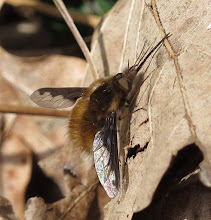 Photo: Bee Fly 2 April 2015 © Keith Gittens 2015