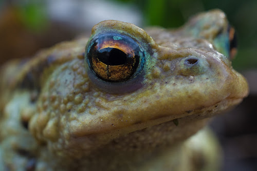 Frog with   sauron´s eye   by Thurisaz Photography - Animals Amphibians ( exposure, details, nature, frog, depth of field, amphibian, focus, close up, eye,  )