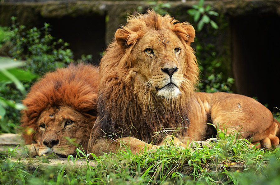 Two Lions by Erwin Kurniawan - Animals Other Mammals