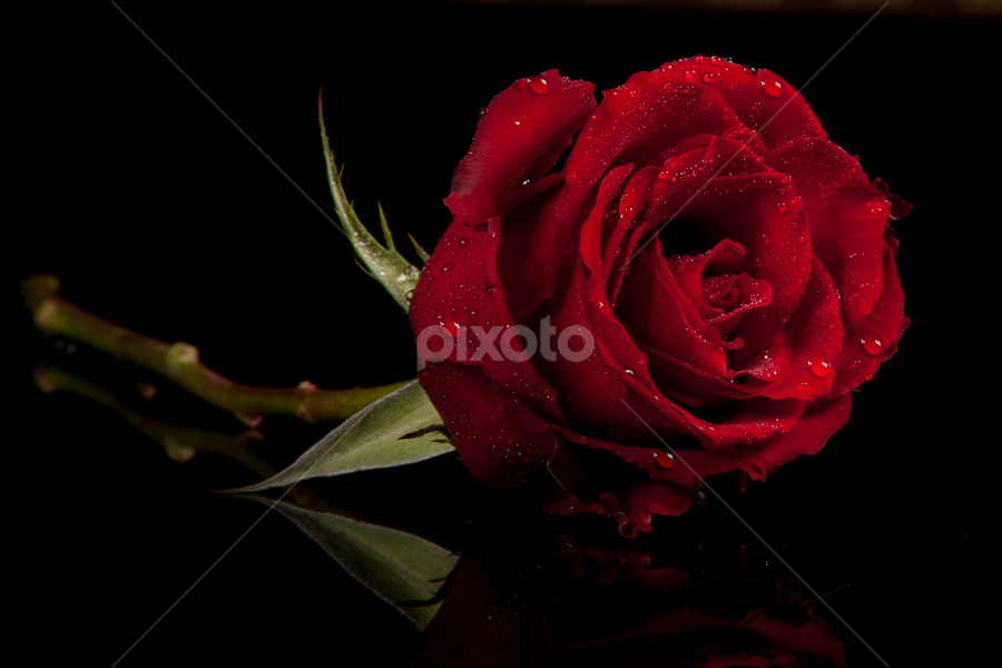 Red Rose by Cristobal Garciaferro Rubio - Nature Up Close Flowers - 2011-2013 ( rose, drop, drops, roses, flowers, flower )