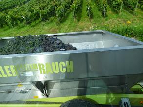 Photo: Den første vin er plukket
