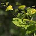 Perfoliate alexanders