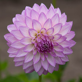 Perfect Purple by Janet Marsh - Flowers Single Flower ( more dahlias, purple and white,  )