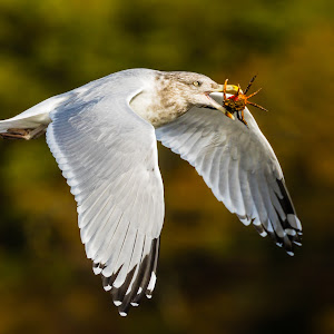 Gull with Crab Wings Down-.jpg