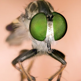 Robber Fly by Fairul Izwan CreativeVision - Animals Insects & Spiders
