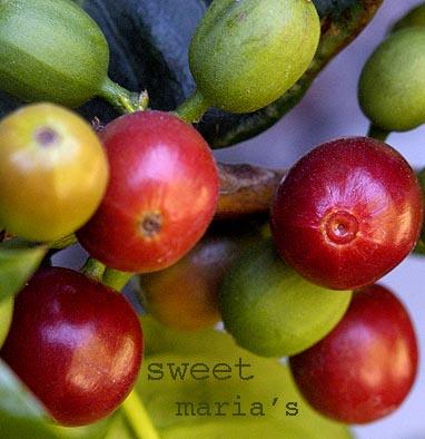 Sweet Maria's picture on www.RickNakama.com