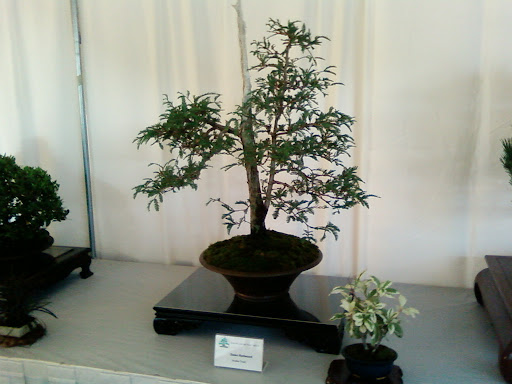 www.RickNakama.com image of Bonsai at Okinawan Festival, Honolulu