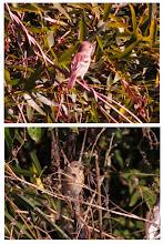 Photo: 撮影者:佐藤サヨ子 ベニマシコ タイトル:このピンクのベニマシコは♂ですか? 観察年月日:2015年2月2日 場所:サイカチ池 区分:行動 メッシュ:八王子9H コメント:サンクチュアリの探鳥会でベニマシコを見ましたが、すべて♀と思ってましたが武藤さんがピンクのがいると言っていたので印刷してみるとピンクの1羽が確認されまそた。