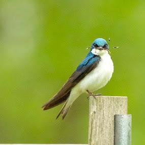 Bug Mustache by Kimberly Davidson - Animals Birds ( tree swallows, pwct tagged birds,  )