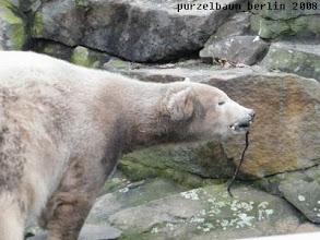 Photo: Knut hat ein Stoeckchen entdeckt :-)