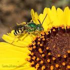 Striped-Sweat Bee