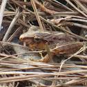 Fitzinger's Robber Frog