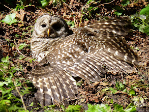 Photo: Barred Owl stretched out enjoying the morning sun.