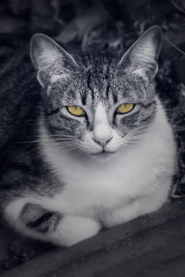 Curious Cat by Gaurav Deshpande - Animals - Cats Portraits ( cats, pose, cat, black and white, pet, catsofinstagram, cute, domestic, portrait, domestic cat, eyes )