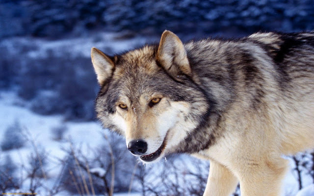 Grey Wolf Theme - Chrome Web Store