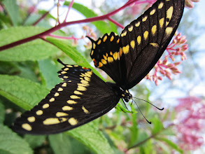 Photo: Black and yellow butterfly against pink flowers at the Cox Arboretum Butterfly House in Dayton, Ohio.