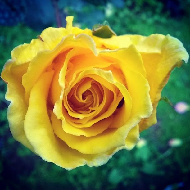 Rosa Gialla di ValeB