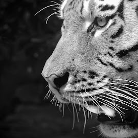 The eye of the tiger by Michaela Firešová - Black & White Animals ( eye, black and white, detail, tiger )