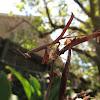 Carolina Mantis nymph  (Stagmomantis carolina)